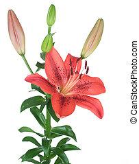 hermoso, rojo, Lirio, flor, encima, blanco