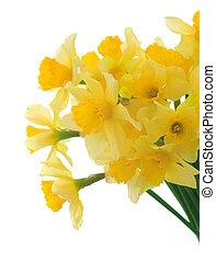 Beautiful Daffodils Over White