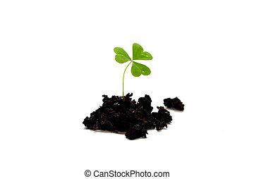 Three Leaf Clover - Ioslated shot of three leaf clover in...