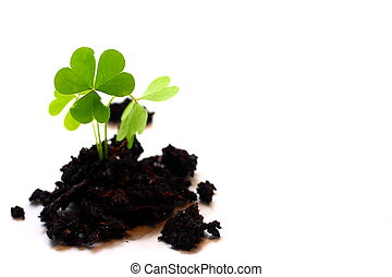 Three Leaf Clover - Isolated shot of three leaf clover in...
