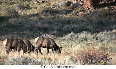 Cow Elk Feeding