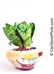 House plant in a pot isolated