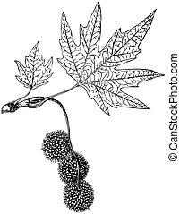 Plant Platanus orientalis - Branch of Plant Platanus...
