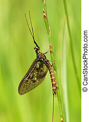 mayfly - scary but harmless mayfly close-up