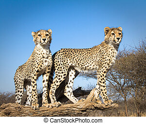 Young Cheetahs - 2 young cheetahs pose for a portrait
