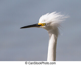 Bad Hair Day - a Snowy Egret looks into the wind as it blows...