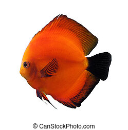 red discus fish isolated on white