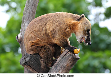 nasua coati eating banana on tree