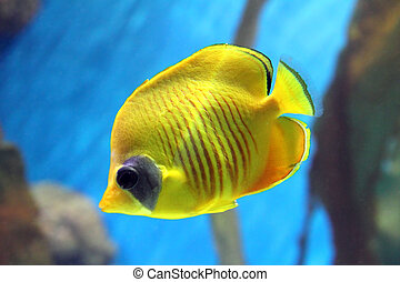yellow butterfly-fish