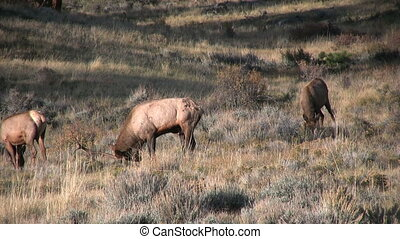 Elk in Rut - a group of elk during the fall rut