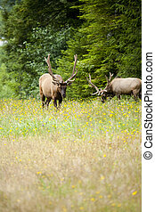 Two Roosevelts bull elk grazing in a meadow