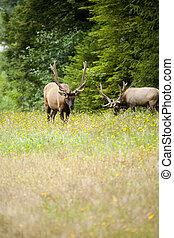 Two Roosevelt's bull elk grazing in a meadow