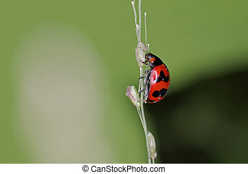 lady bug - A lady bug is moving on the grass shoot