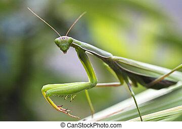 Praying mantis - Macro portrait of praying mantis on a leaf