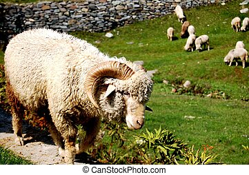 Warmly Clothed - A well clothed Grandma sheep deep in...