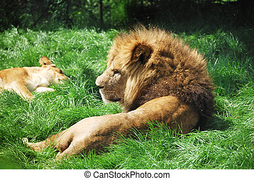 Lion Relaxing - Lion relaxing in the grass and looking...