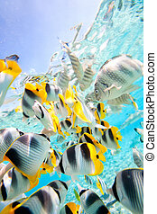 Butterfly fish - School of butterfly fish in Pacific ocean