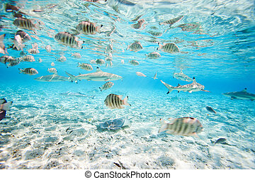 Bora Bora underwater - Fish and black tipped sharks...