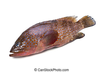 redspotted grouper - Cooking ingredient series redspotted...