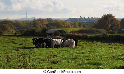 Cows in autumn - Pasture with cows in autumn -...