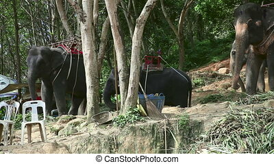 Thai taxi - Elephants for riding Phuket, Thailand