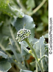 Home grown broccoli still on the plant in the garden