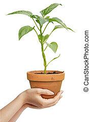 pianta, umano, fondo, sopra, isolato, presa a terra, mani, crescente, bianco