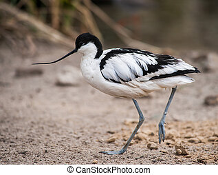 Wader: black and white Pied avocet on the beach