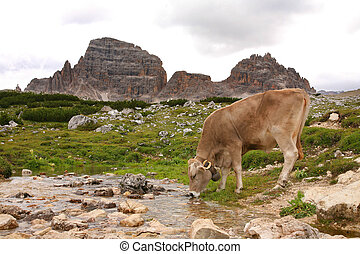 Dolomites Italy beauty, cow drinking at the stream on the Tre cime di Lavaredo