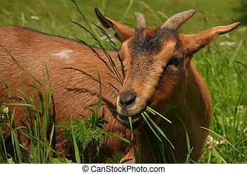 isolado, Marrom, montanha, cabra, -, Dolomite, Itália