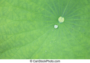 lotus leaf  - green lotus leaf with a little drop.