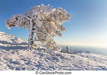 The pine under the snow in mountains - Frozen pine on...