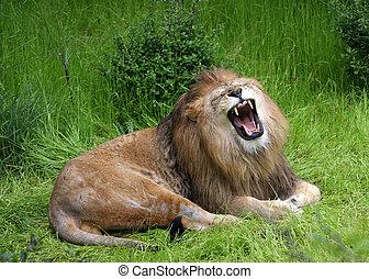 lion roaring - Male lion letting out a loud roar