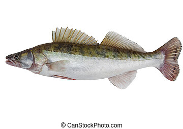 Male zander - Large fresh pike perch isolated on a white...