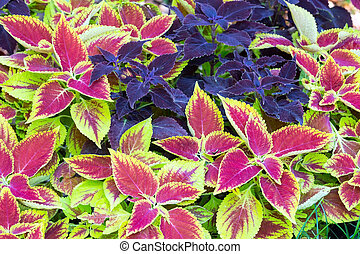 flower landscaping - Red coleus and purple plant closeup...