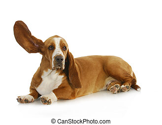 dog listening - basset hound with one ear up listening