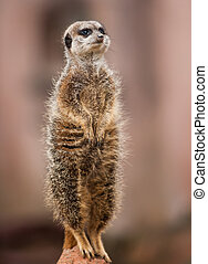Animals of Africa: watchful meerkat standing on mound