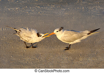 Baby Royal Tern Begging for Food in Morning Light