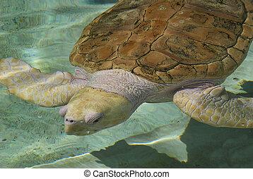 Albino sea turtle - Swimming albino sea turtle