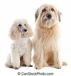 poodle and pyrenean sheepdog - beautiful purebred poodle and...