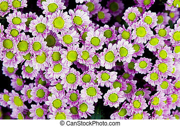 Little pink daisies - Many little green and pink daisies