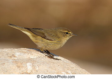 Phylloscopus collybita chiffchaff on a stone watching. Side...