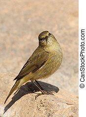 Phylloscopus collybita chiffchaff on a stone watching