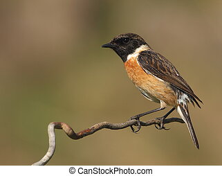 Saxicola torquatus common stonechat male perched on a branch...