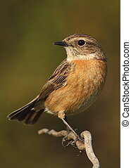 Saxicola torquatus common stonechat female perched on a...