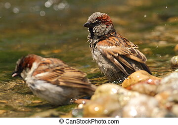 Passer domesticus sparrows bathing - Passer domesticus...