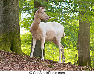 Albino deer - Albino specimen of the Red deer (Cervus...