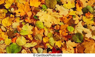 autumn leaves in the lake