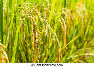 paddy rice of thai in filed