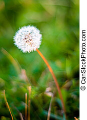 dandelion close up background
